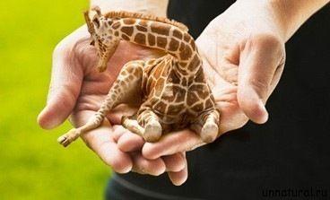 Карликовые жирафы.