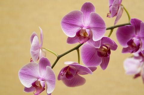 Мои орхидеи. Хвастаюсь и раздаю советы по уходу))