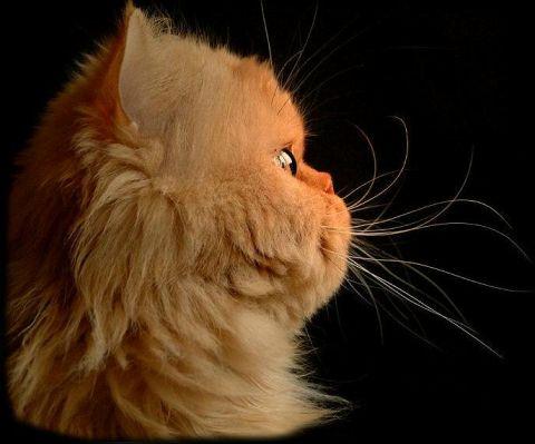 Чем кошка мурчит?