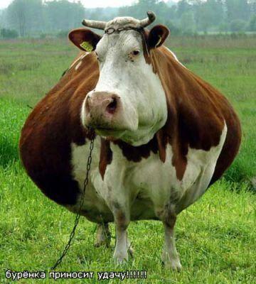 Счастливая корова, как талисман для планюшек.