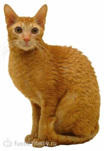 Корниш рекс кот или кошка кого