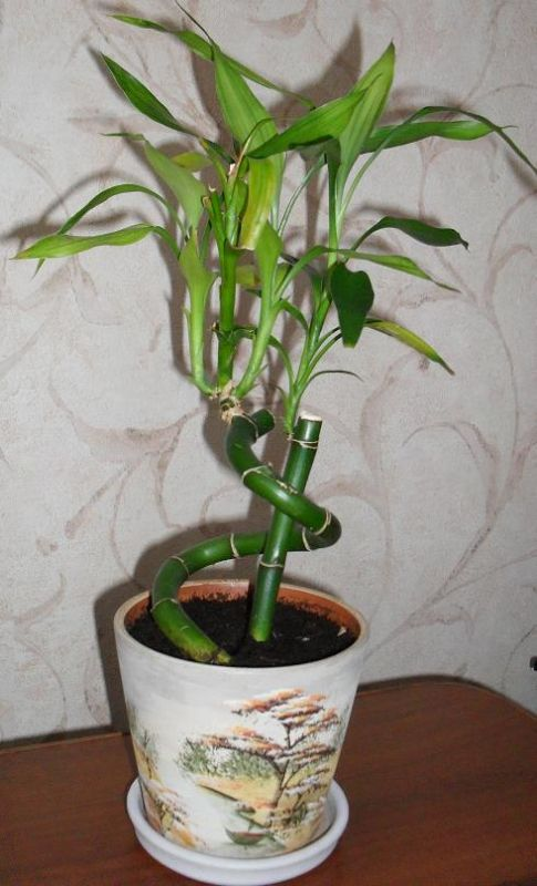 Бамбук сажают в землю
