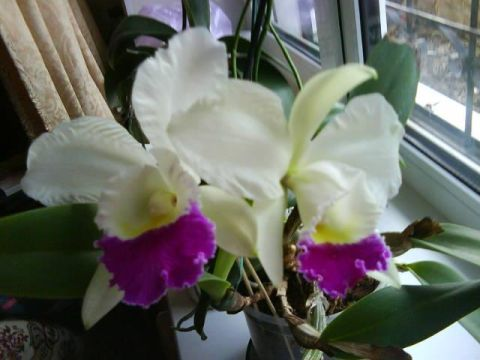 расцвела орхидейка- похвастаюсь!